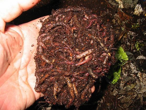 Как развести червей в домашних условиях
