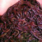 Как сохранить дождевых и навозных червей для рыбалки?