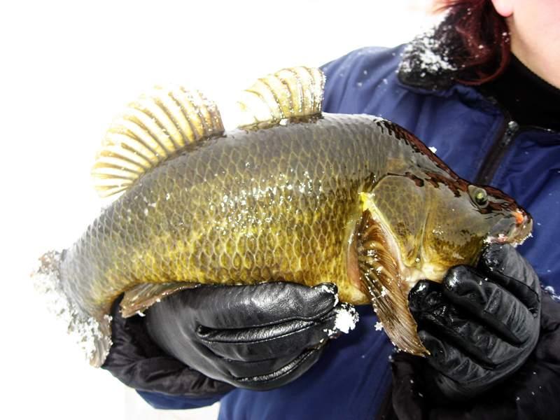 Что это за рыба ротан