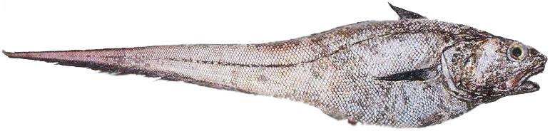 Что за рыба макрурус