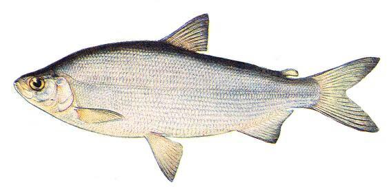 Пелядь что за рыба