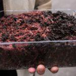 Как правильно развести червей в домашних условиях?