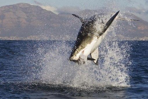 Есть акулы в Черном море