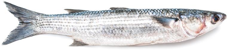 Что за рыба кефаль?