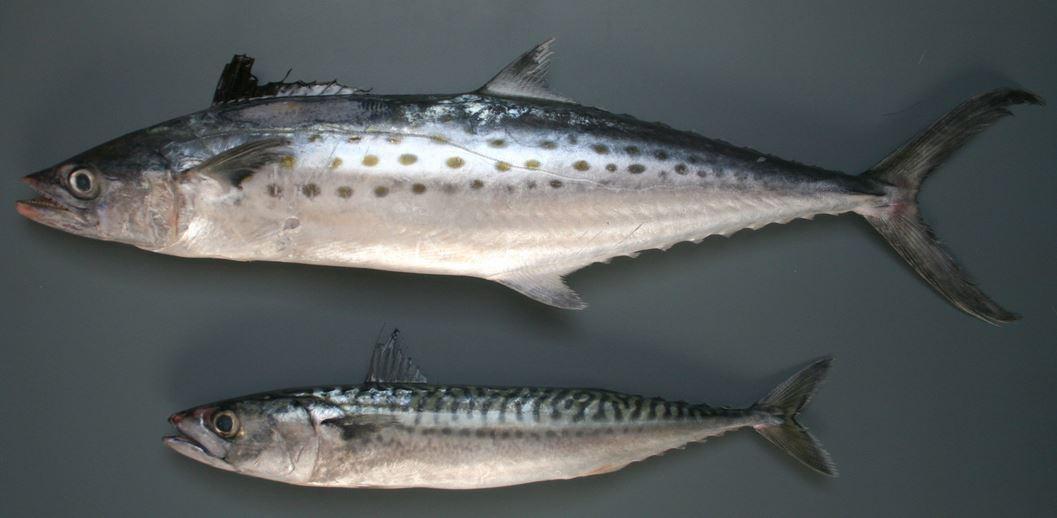 Что за рыба макрель?