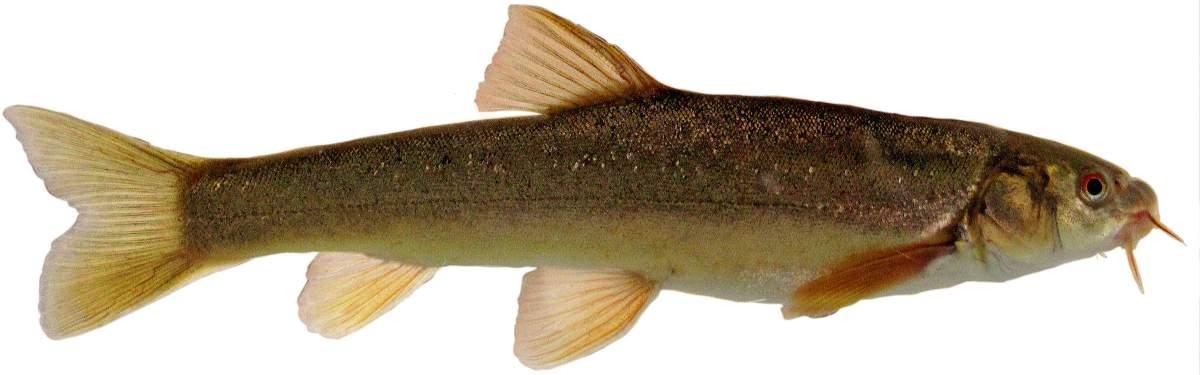 Маринка рыба