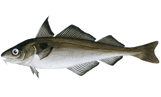 Что за рыба пикша