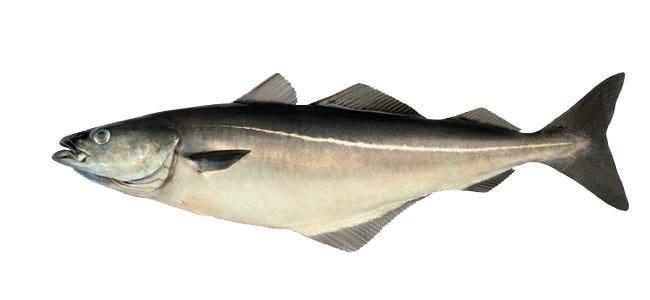 Что за рыба сайда
