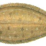 Что за рыба морской язык - как она выглядит и где обитает?